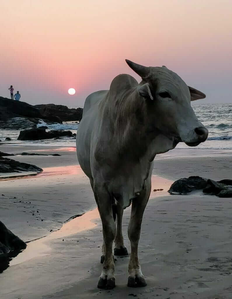 One of many beautiful sunsets I witnessed while backpacking India. Sunset over Vagator Beach in Goa, India with an iconic Zebu cow (humped cattle) on the beach in the foreground