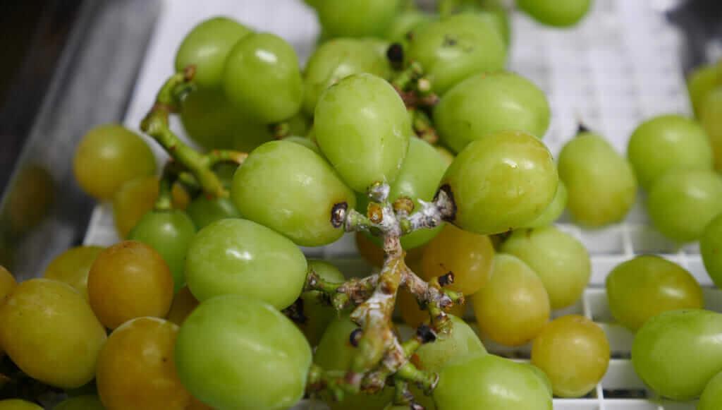 Shine Muscat grapes